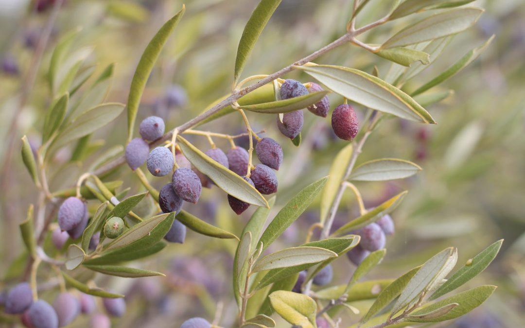 Die ersten Ernteverträge bei TEIKEI olive