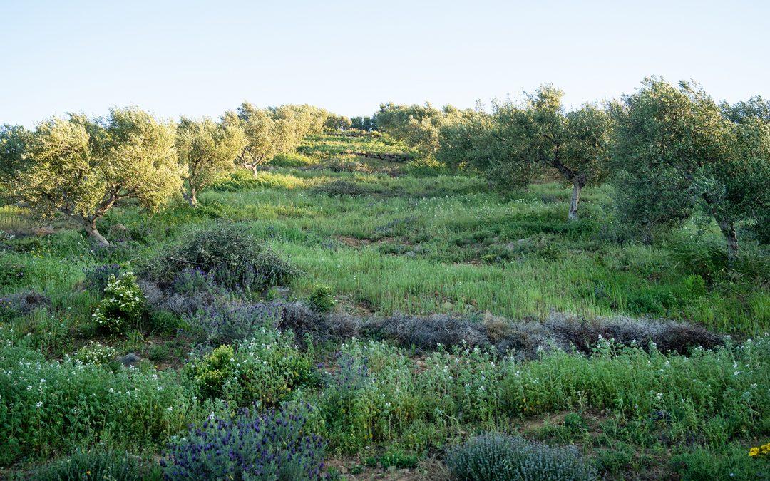 Erste Ernteanteile bei Teikei Olive