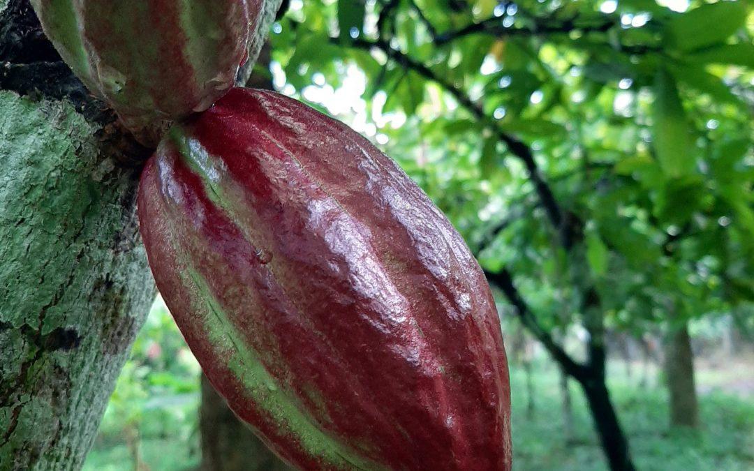 Teikei Cacao – Ein einzigartiges Geschmackserlebnis